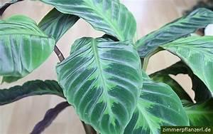 Orchideen Klebrige Blätter : calathea warscewiczii korbmarante pflege ~ Whattoseeinmadrid.com Haus und Dekorationen
