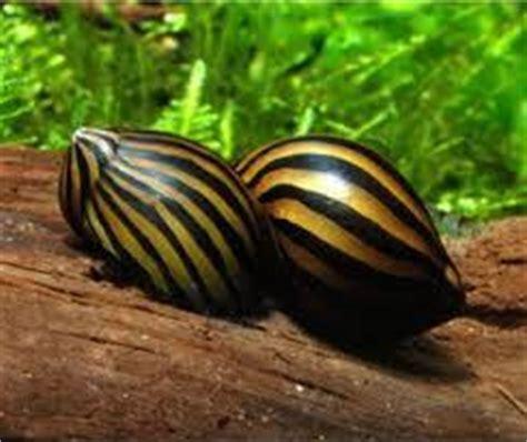 les escargots d aquarium se reproduisent ils forum