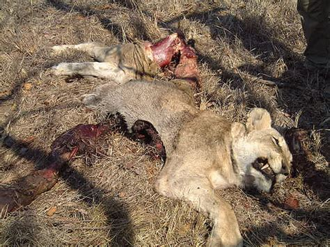 Lion killed by buffalo | Flickr - Photo Sharing!