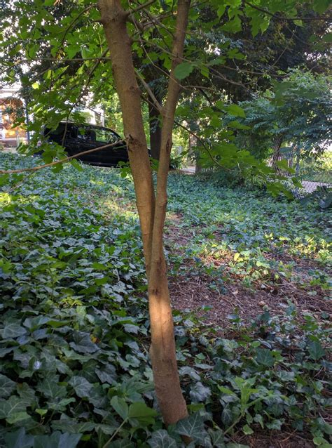 identification  type  mulberry tree