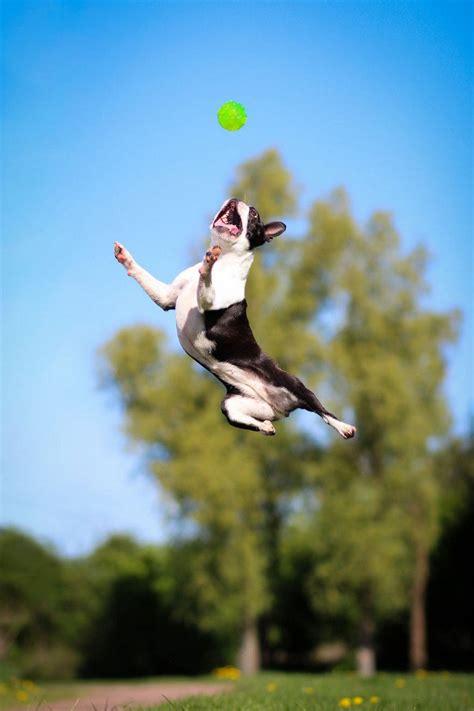 sadie  boston terrier  bouncier  tigger
