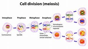 Vector Diagram Of The Meiosis Phases  Meiosis  Cell
