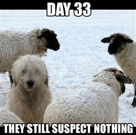 Sheep Memes - sheep dog meme