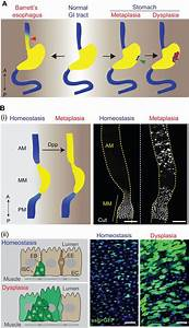 Gastrointestinal Stem Cells In Health And Disease  From
