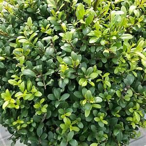 Ilex Crenata Krankheiten : ilex crenata dark green balls for sale evergreen topiary balls charella gardens ~ Orissabook.com Haus und Dekorationen