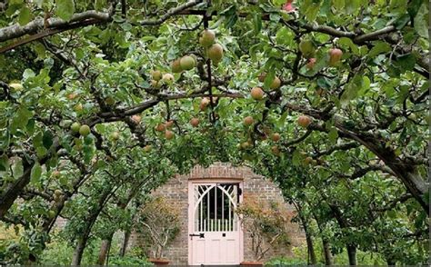 espaliered trees espalier on pinterest fruit trees espalier fruit trees and pear trees
