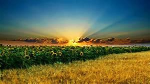 Daily, Wallpaper, Sunflower, Fields