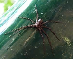 Minnesota Poisonous Spiders
