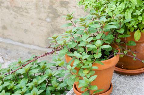 minze im topf pflanzen und pflegen