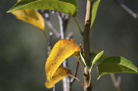 Pear Tree Leaves Turning Yellow