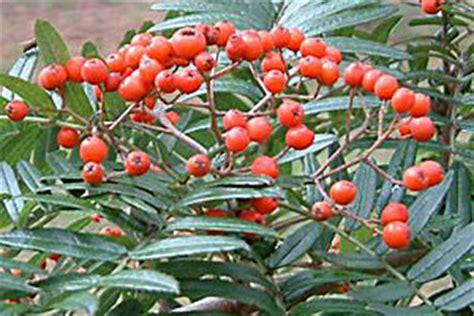 tanaman menurut abjad a gunung ash tree pictures images fakta tentang gunung