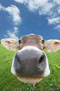 Kuh Bilder Auf Leinwand : kuhkopf auf der alm love my cows pinterest kuh ~ Whattoseeinmadrid.com Haus und Dekorationen