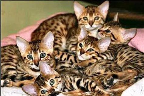 tierforum bengalkatzen inserat trickbetr 252 ger aus kamerun tieranzeige l 246 schen