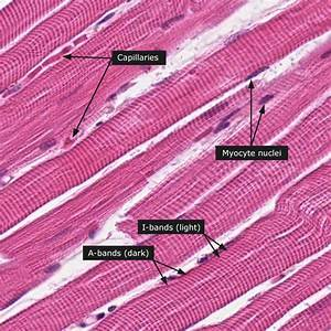 Dictionary - Normal: Skeletal muscle - The Human Protein Atlas