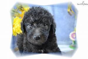 Meet DHBWM 8 a cute Shepadoodle puppy for sale for $1,000 ...