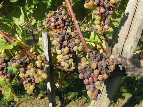 Sauternes and Sweet Bordeaux Wine
