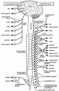 Autonomic Nervous System Coloring Page