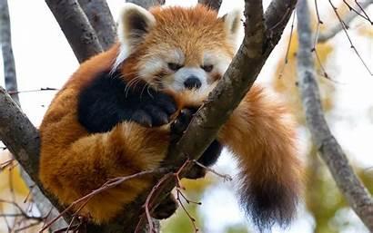Panda Wallpapers Animal Phone