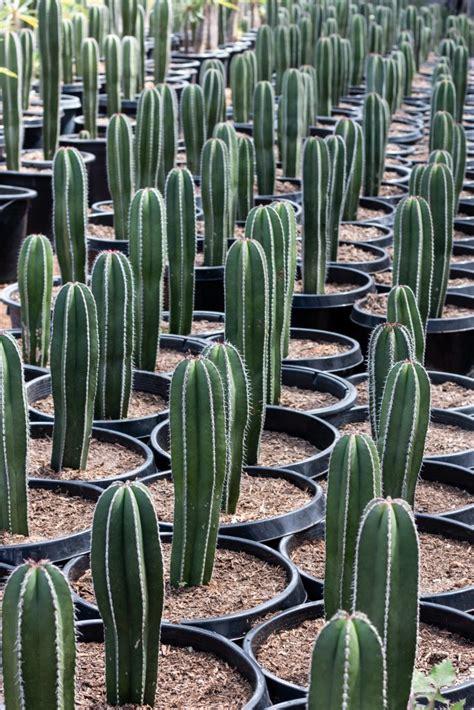Mexican Fence Post Cactus (Pachycereus Marginatus) - J.J ...