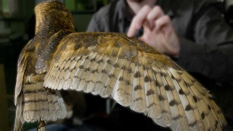 Barn Owl Wings Spread