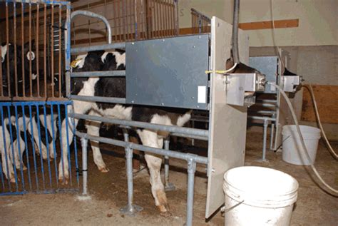 automatic calf feeders what we learned from an automatic calf feeder