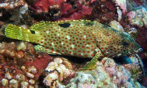 hind rock fish noaa epinephelus flowergarden gov