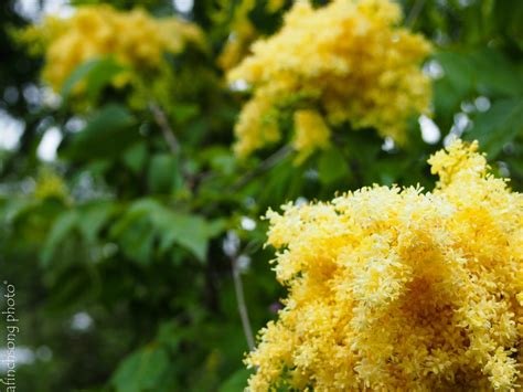 flowering trees sun syringa pekinensis zhang zhiming beijing gold lilac tree deciduous flowering tree full sun