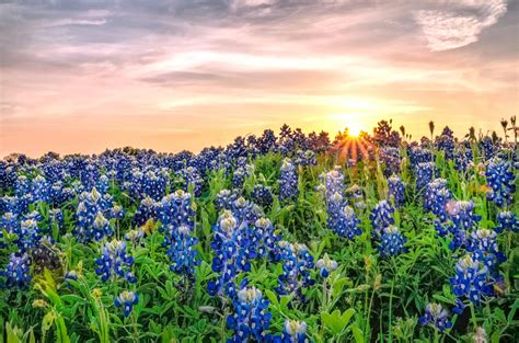 texas bluebonnets bluebonnets fun facts  trivia