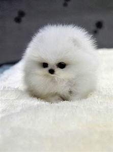Top 10 smallest Dog Breeds ~ The Pet's Planet...OHMIGAWD ...
