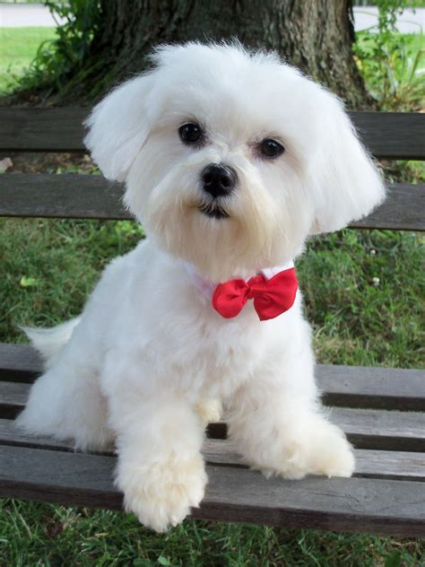 maltese dogs you can get more details of pet dogs