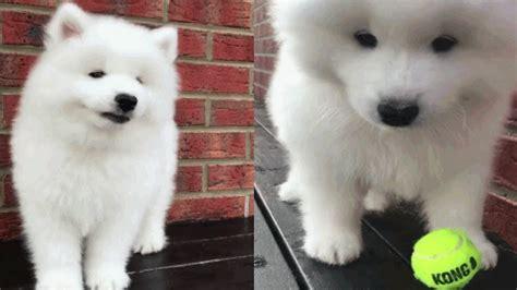 Samoyed 🐶 Cute Samoyed Puppies Compilation Youtube