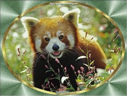 Panda Navigateur Firefox Mon Giphy Centerblog Animal