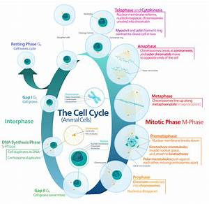 File Animal Cell Cycle-en Svg