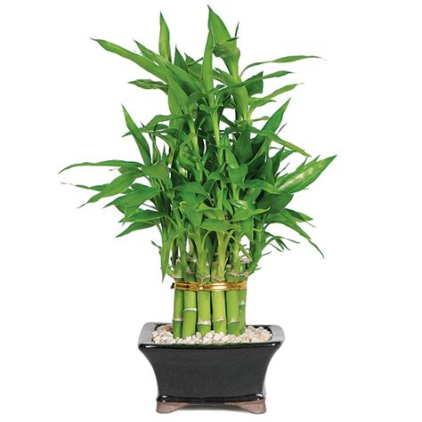 Lucky Bamboo Pflege by Lucky Bamboo Care