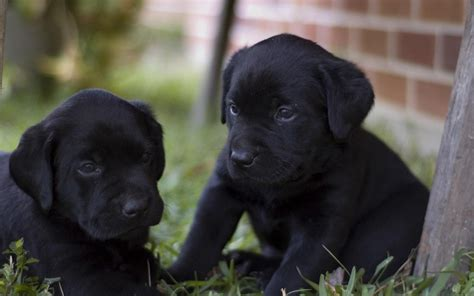 labrador retriever puppies black biack puppys litle pups