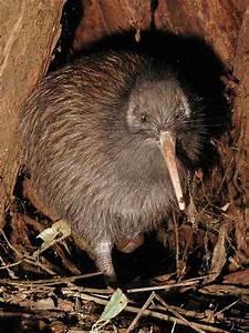 New Zealand Brown Kiwi