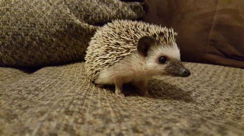 5 Common Hedgehog Diseases  Hedgehog Health