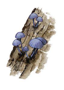 zilganā sēntiņa - Mycena pseudocorticola Kühner - Sēnes - Latvijas daba