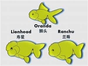 Ranchu vs Lionhead Differences - Fish Keeping