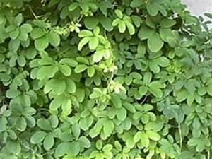 Kletterpflanzen Mehrjährig Winterhart : kletterpflanzen kaufen bersicht mit vielen beispielen ~ Michelbontemps.com Haus und Dekorationen