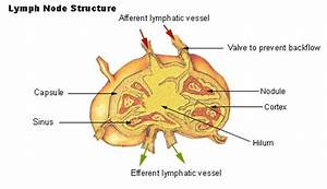 Lymph Cells And Tissues
