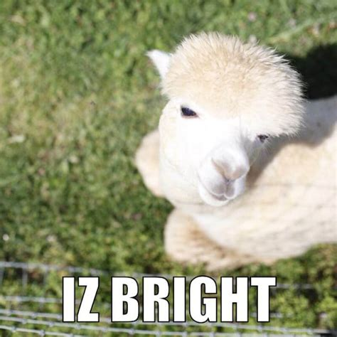 Alpaca Sheep Meme - alpaca memes www imgkid com the image kid has it
