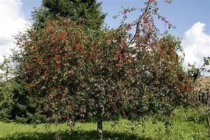 Taille De Cerisier : cerisier planter et cultiver ooreka ~ Melissatoandfro.com Idées de Décoration