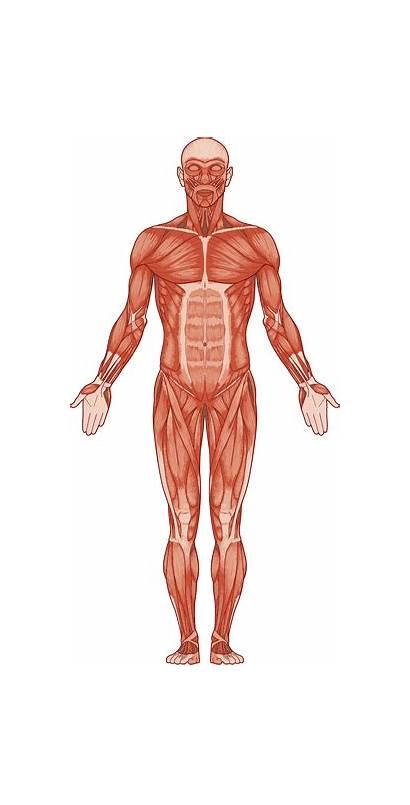 Muscles Muscle Bone Bones Nz Muscular Human