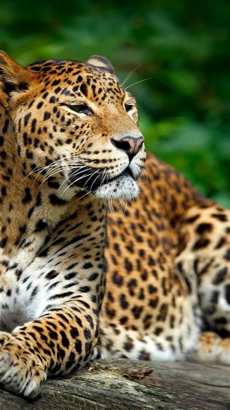 wallpaper leopard wildlife hd  animals