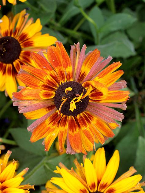 rudbeckia hirta chim chiminee buy   annies annuals