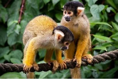 Squirrel Monkey Monkeys Own Exotic Animals Legally
