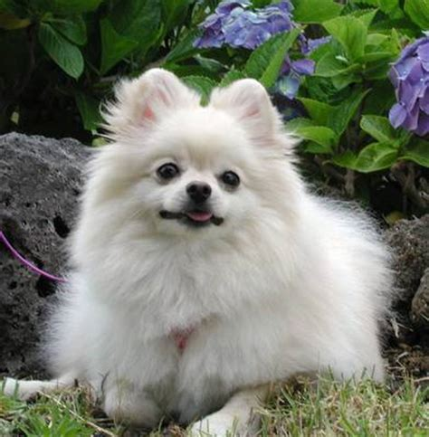 pomeranian dog pictures names price cute  funny pet