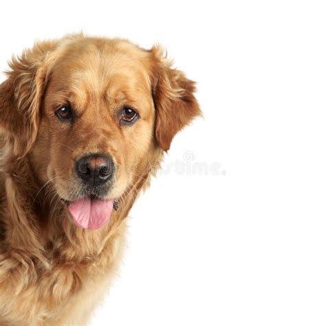 Golden Retriever Puppy And Ginger Kitten Stock Photo