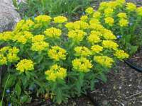 Garten Wolfsmilch Euphorbia Amygdaloides Griffithii